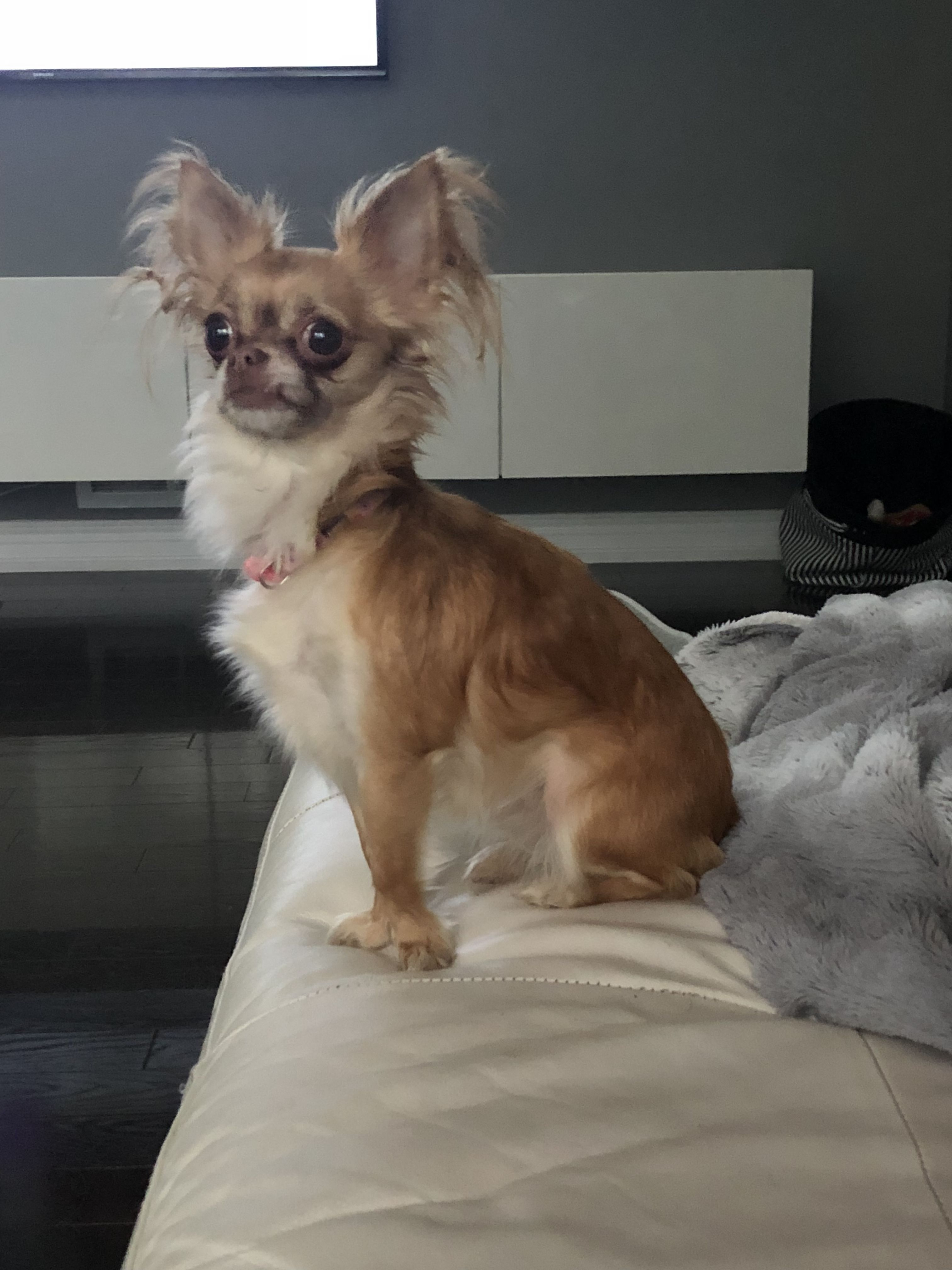 Adopt Giselle On Chihuahua Dogs Animals Pet Adoption