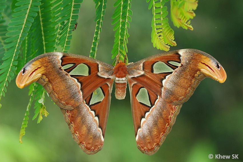 Atlas Moth Singapore Motte