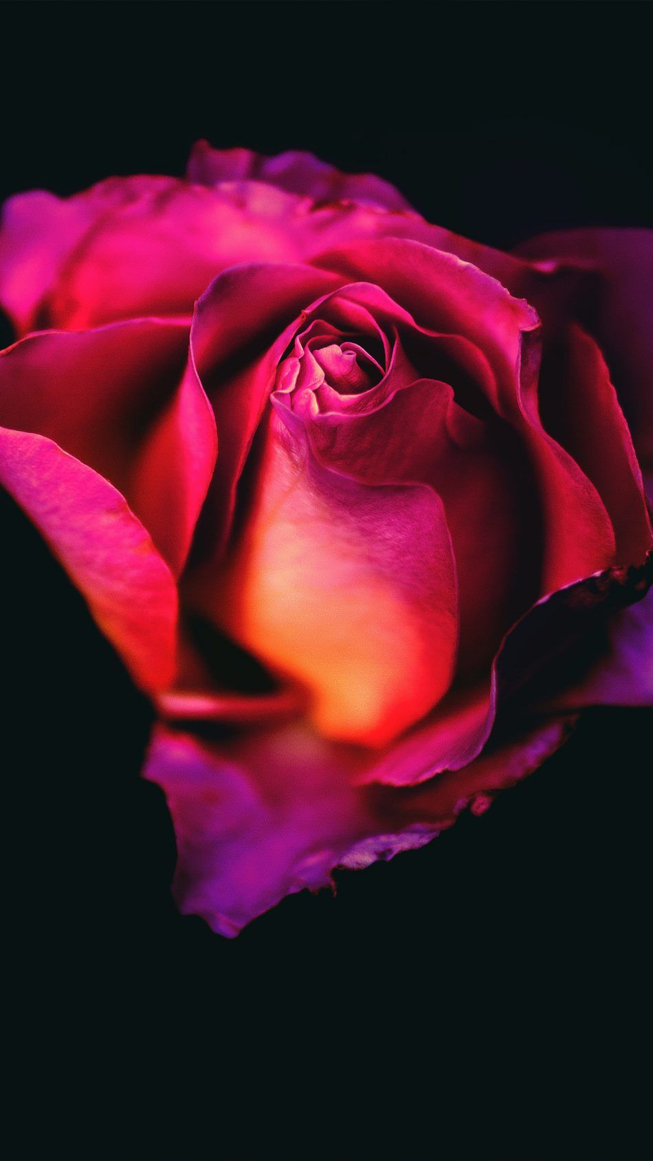 Rose Flower Dark Background Rose flower wallpaper, Rose