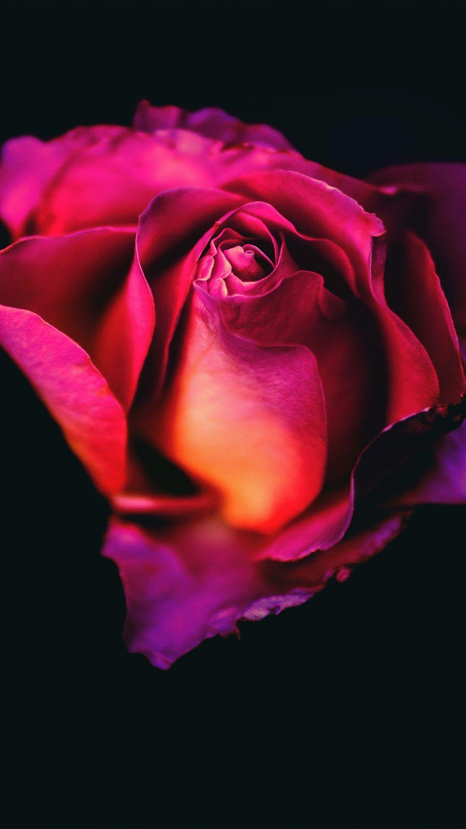 Cute Rose Wallpapers Mobile
