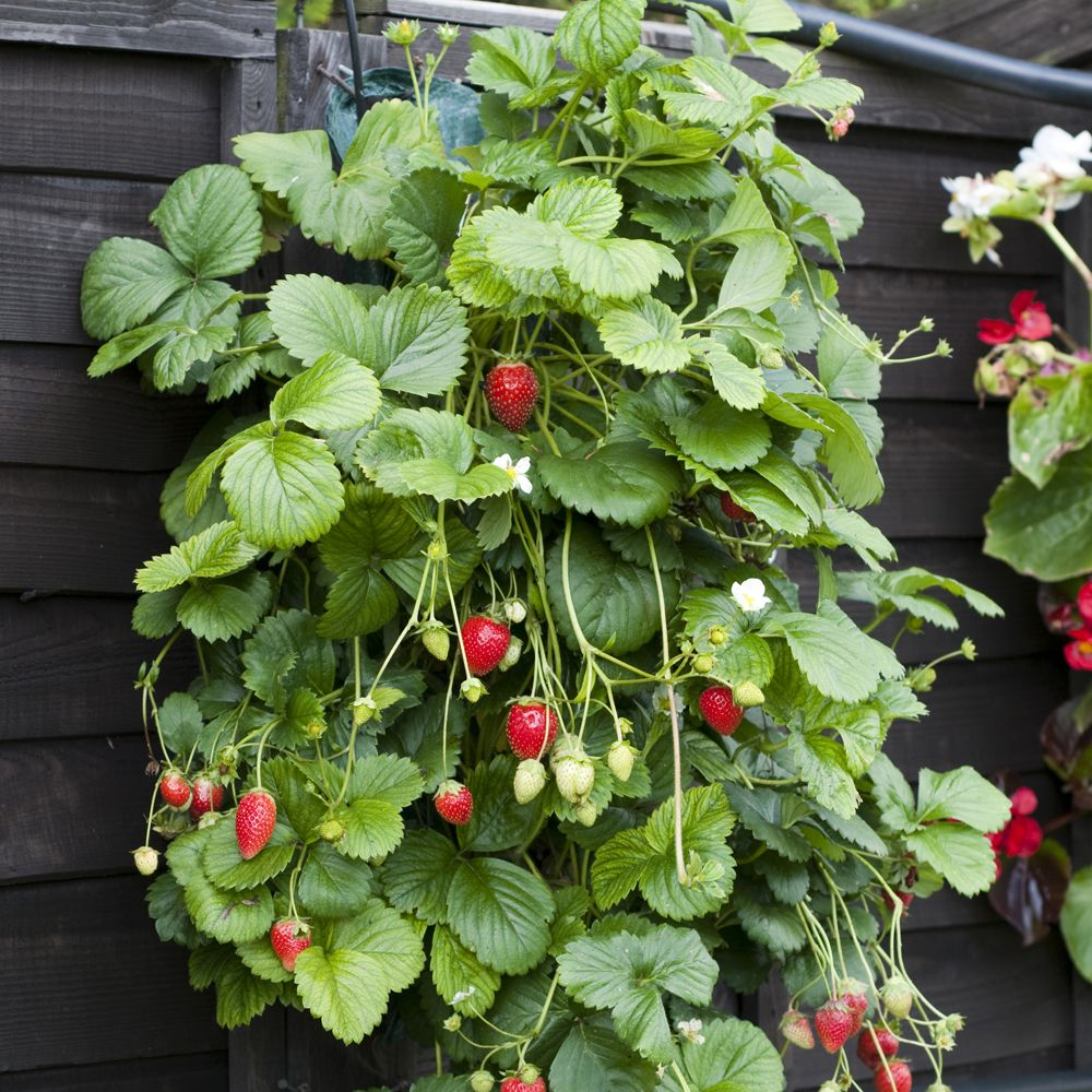Hanging Strawberry Patch for the deck