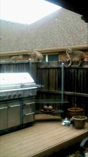 Three Bobcats Sitting On A Fence In Plano Texas 02 04 16 The Neighborhood Was Wondering Where All Their Dogs Were Disearing Too