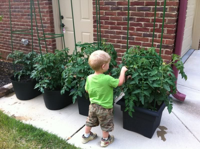 17 Best 1000 images about Tomato Gardens on Pinterest Tomato seeds