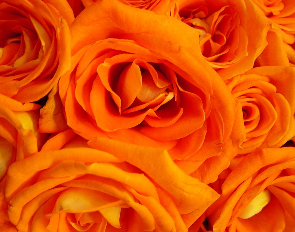 What Is The Meaning And History Of Orange Roses Gorgeous Roses