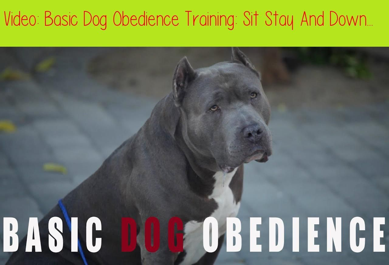 Basic Dog Obedience Training Sit Stay And Downthis Video Is A