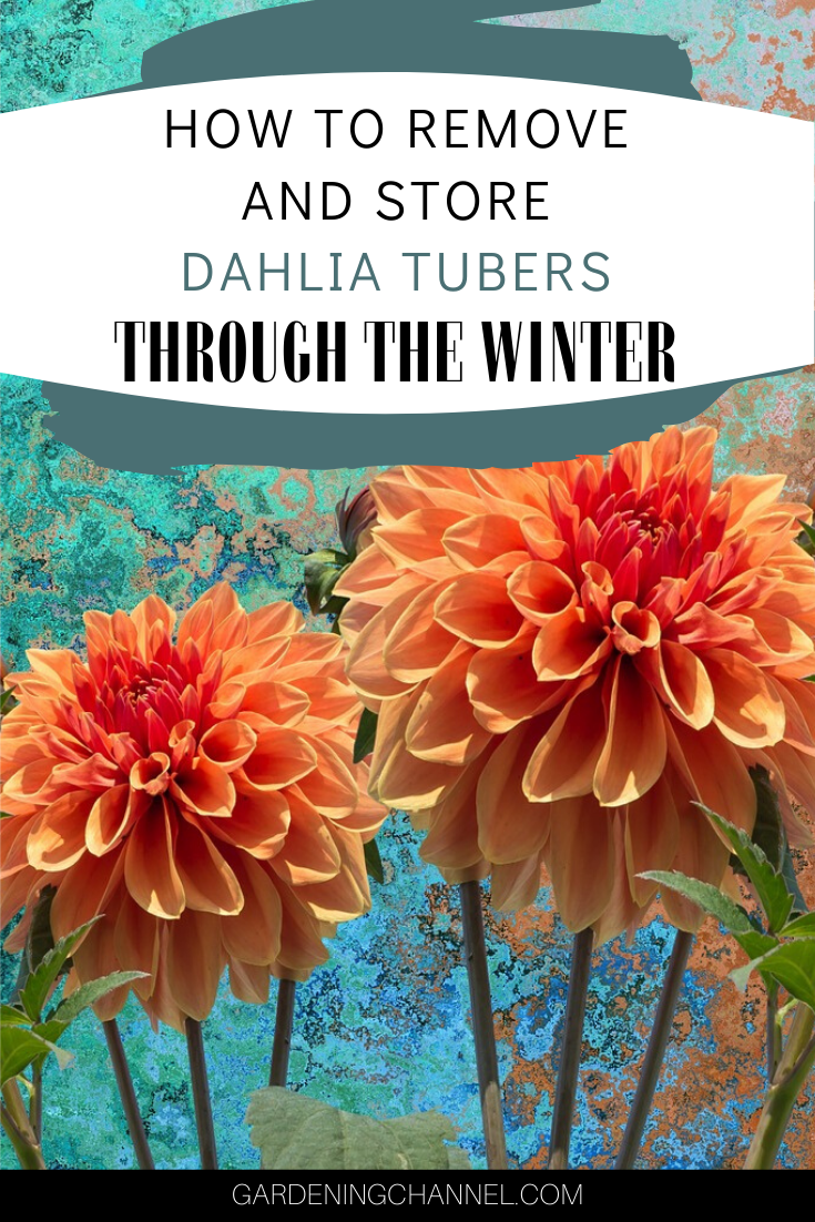 Dahlia Flowers How To Remove And Store Tubers Through The Winter Gardening Channel In 2020 Dahlia Flower Dahlia Flower Garden Winter Garden