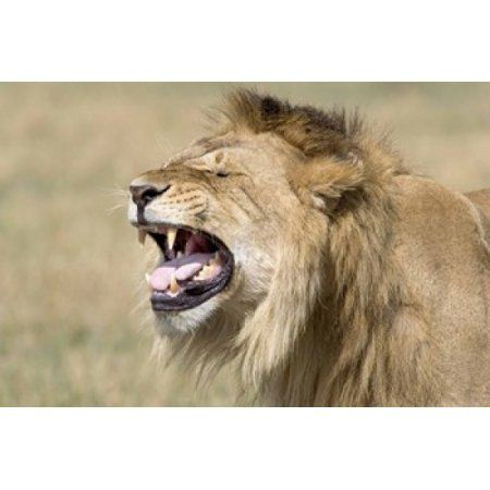Close Up Of A Male Lion Roaring Canvas Art Panoramic Images 16 X 11 Lion Wall Art Canvases Lion Canvas Art Lion Wall Art