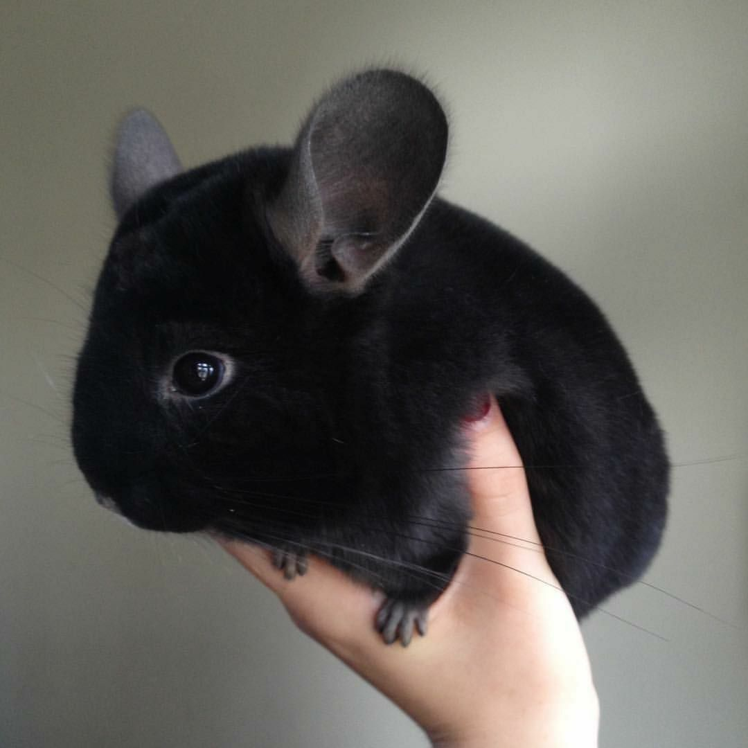 Black goth mouse fluffy cute animals pinterest black goth and