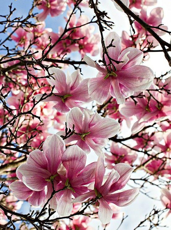 Magnolia Tree Japanese Magnolia Tree Flowering Trees Beautiful Flowers