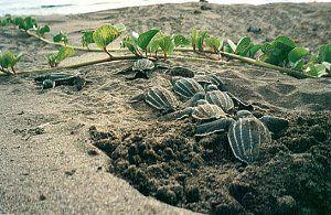 Leatherback Sea Turtle Hatchlings  www.conserveturtles.org