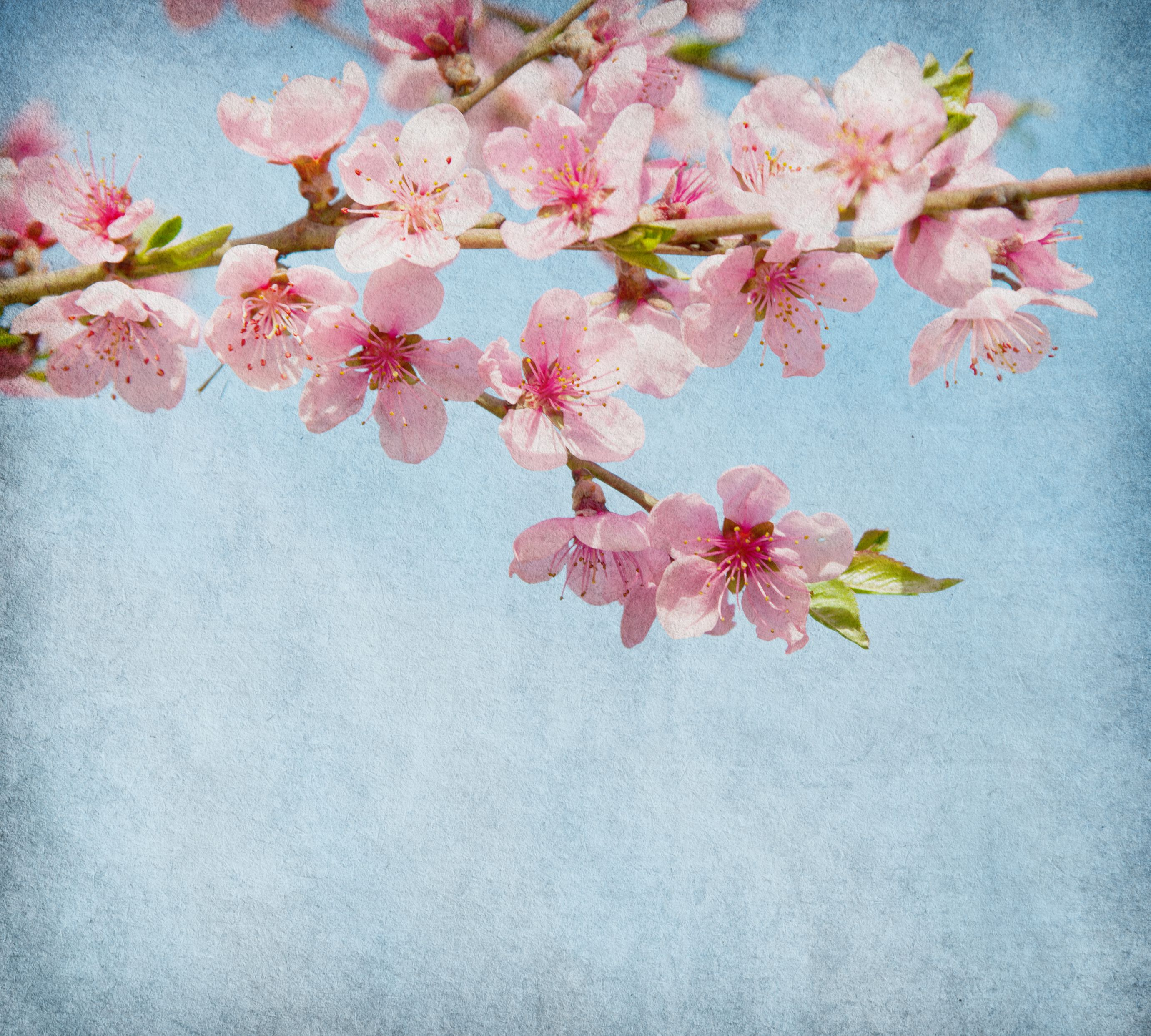 The Blossom Is A Symbol Of Love And Joy It Is Believed That This Delicate Little Flower Promotes Love And Spiritual Cherry Blossom Images Blossom Love Symbols