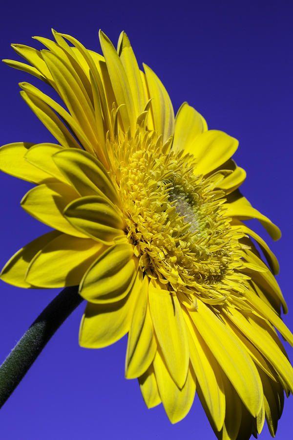 Yellow Daisy Against The Sky Photograph