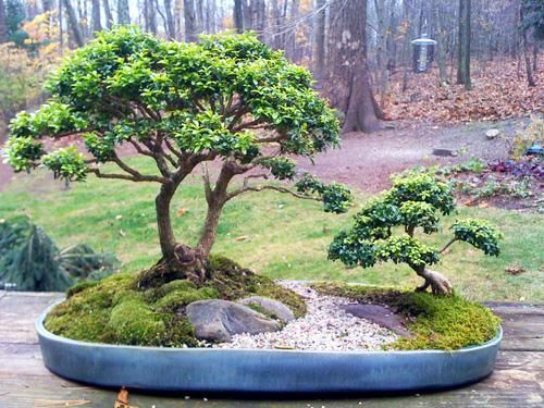 Boxwood Bonsai   From Garden Club Of Newtown.   The 1000 Year Tree