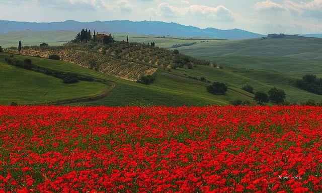 Papaveri - Wandering in Tuscany by Robyn Hooz, via Flickr