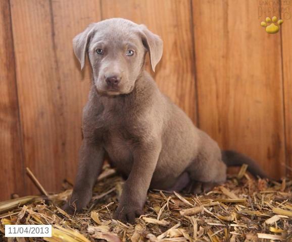 Labrador Retriever Silver Puppy For Sale Labrador Retriever