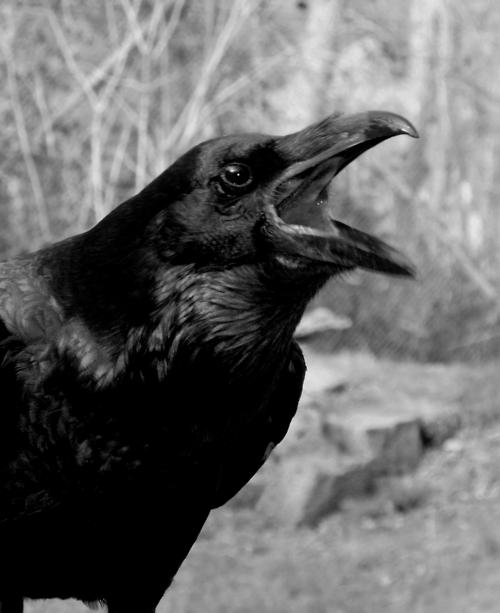 I Am Raven Hear Me Roar Raven Pinterest Ravens Crows And