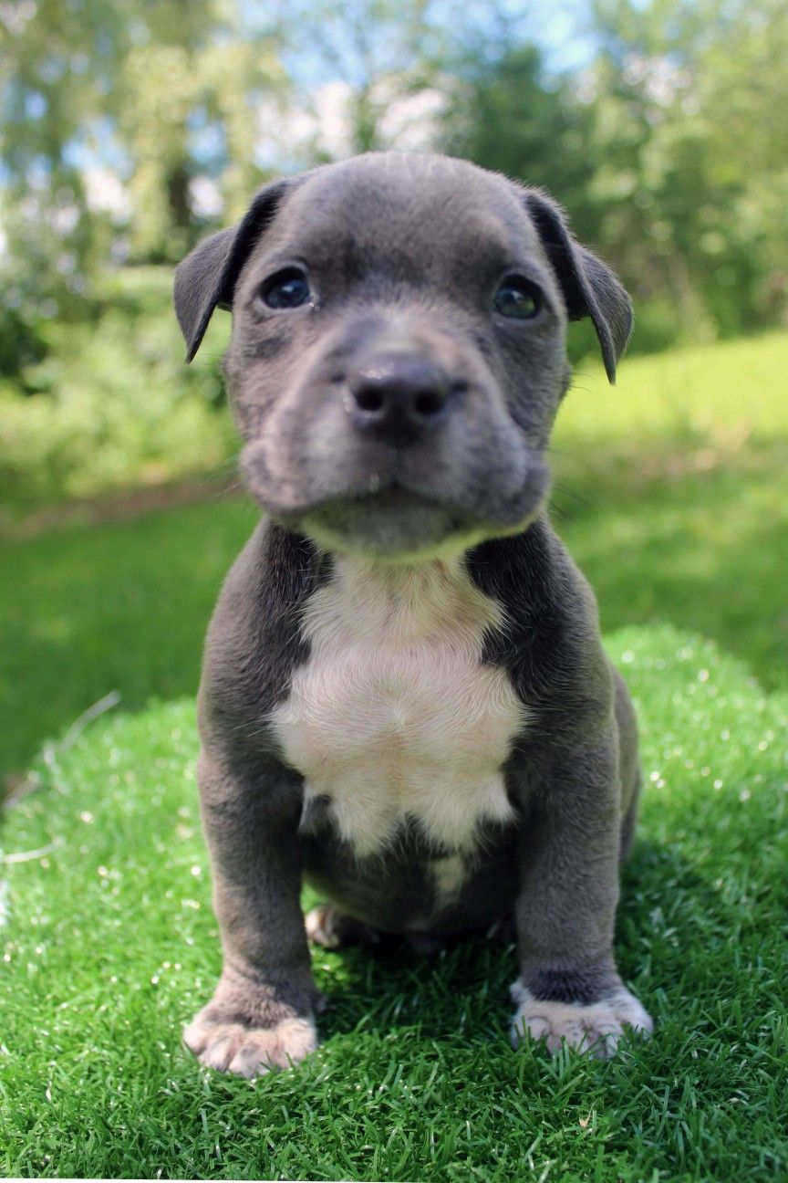 Here is a photo of an amazing female blue pitbull puppy
