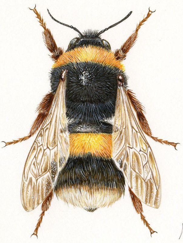 Bumblebee Insect Drawing Illustrations naturali...