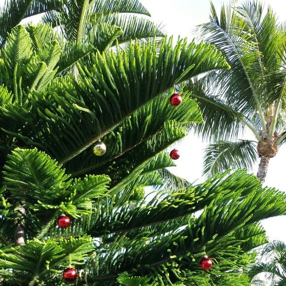 Christmas In Florida Keys.Little Elves Decorate The Wild Trees In The Florida Keys For