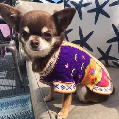 Peruvian Dog Jumpers My Chi And Me Dog Jumpers Dog Sweaters Chihuahua