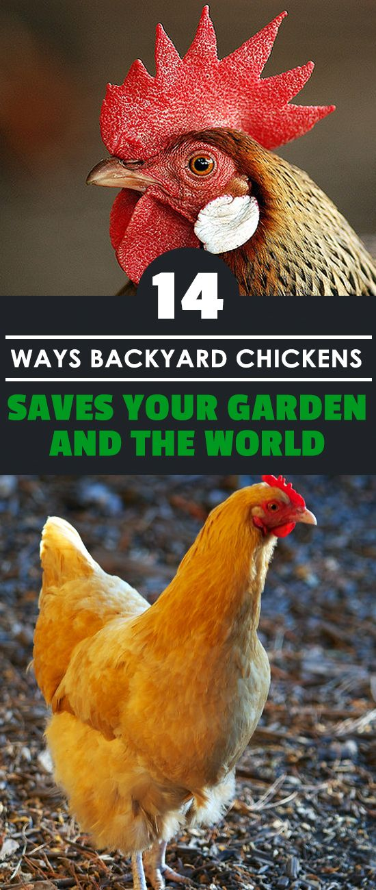 14 Ways Backyard Chickens Save Your Garden and the World