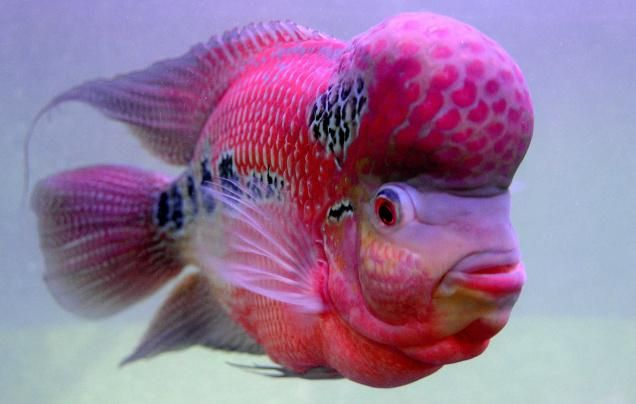 flowerhorn fish pictures | Collector's item: Flowerhorn, the
