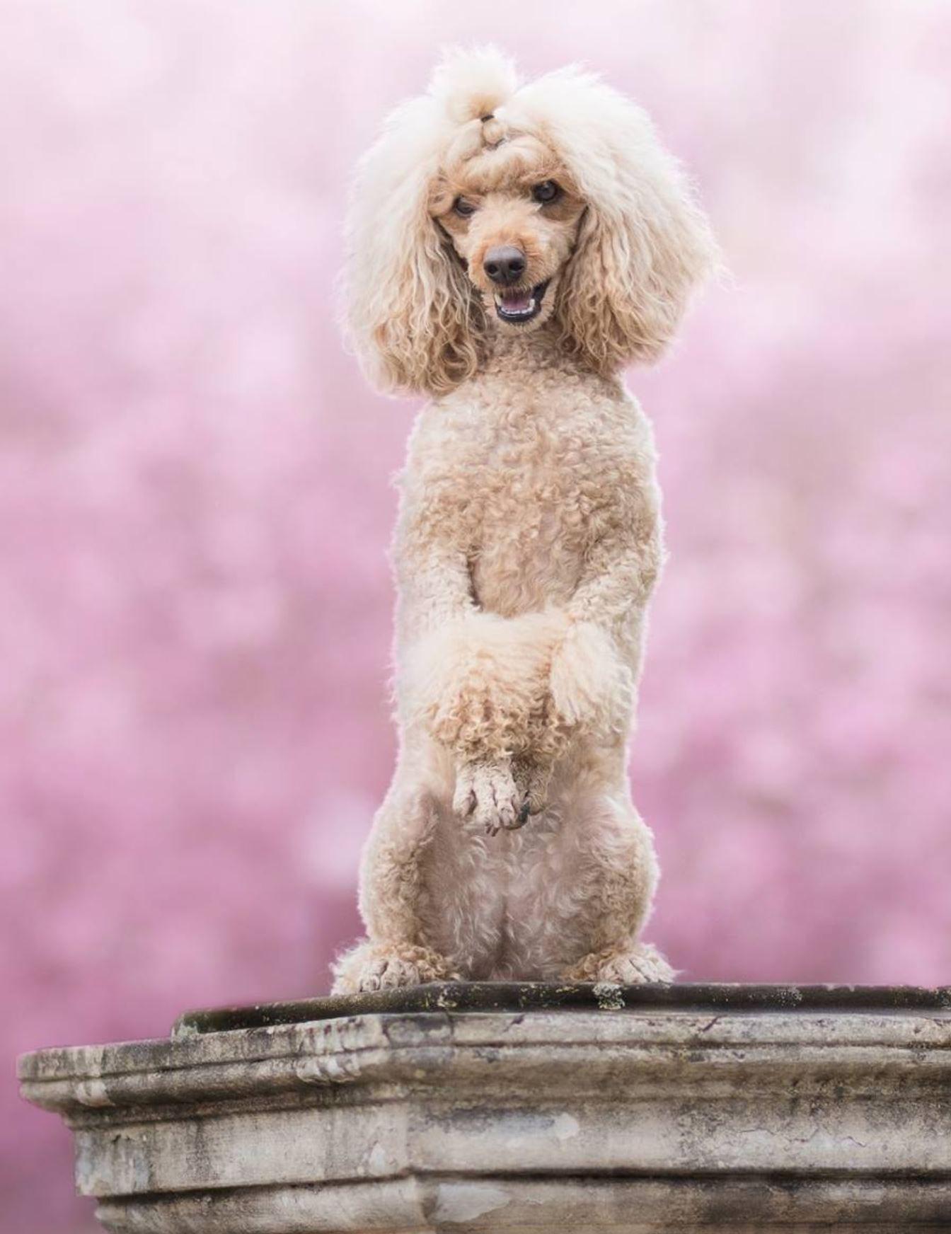 Toy Poodle Puppy Dog Poodle Puppy Poodle Dog Toy Puppies