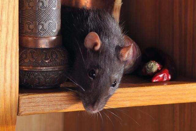 Keep Mice and Rats Out of your House!   Rodent Proofing
