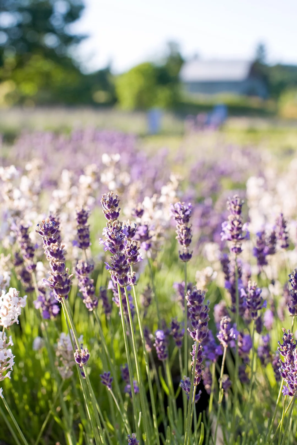 23 Top Lavender Varieties For Filling Your Garden With Color And Fragrance In 2020 Types Of Lavender Plants Lavender Plant Plants