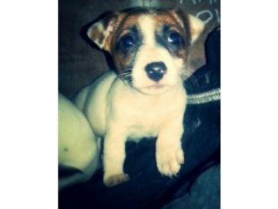 Jack Russell Pups For Sale In Portsmouth