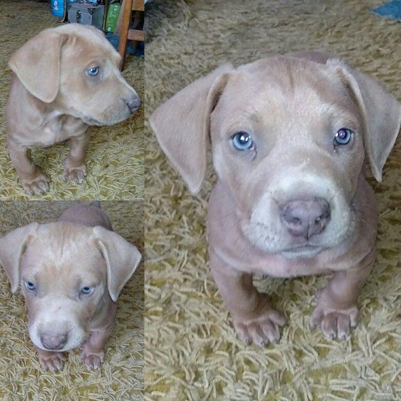 Blue Pup Labrabull Pitador Pitbull Mom Puppies Pup
