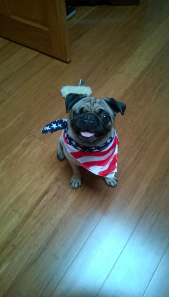 Popeye Pug Pictures Pug Rescue Pug Love