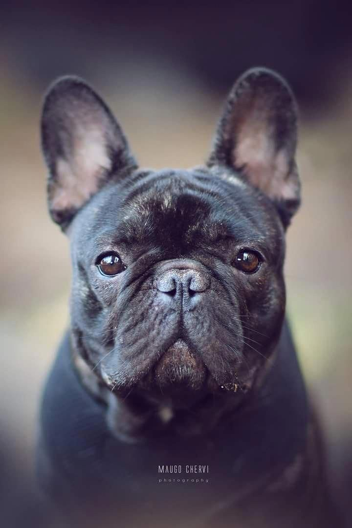 French Bulldog Playful And Smart White French Bulldog Puppies French Bulldog French Dogs