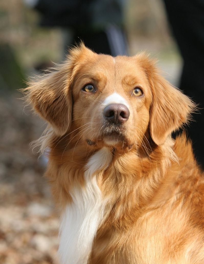 nova scotia duck tolling retriever - Google Search