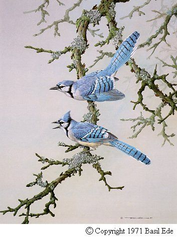 Blue Jay Birds Painting Bird Drawings Bird Prints