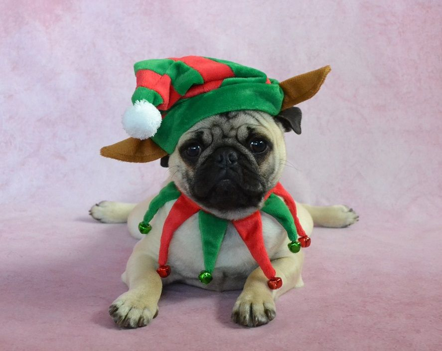 Pug Elf Pancake - puppy in a Christmas costume - Pug Elf Pancake - Puppy In A Christmas Costume Christmas