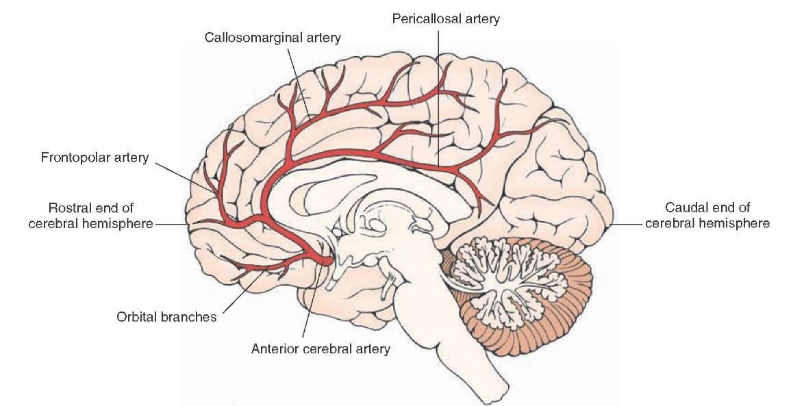 Major Branches Of The Anterior Cerebral Artery Viewed From The