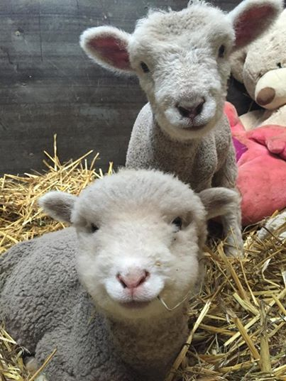 These incredible lamb babies look like stuffed animals themselves.