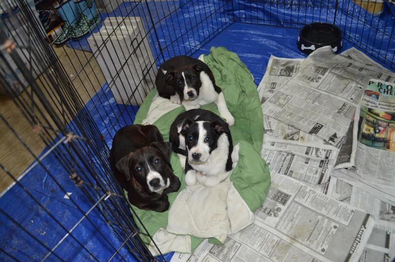 Meet Labrador Retriever Mix Puppies Sherburne Ny A Petfinder Adoptable Labrador Retriever Dog Rochester Dog Adoption Retriever Dog Labrador Retriever Dog