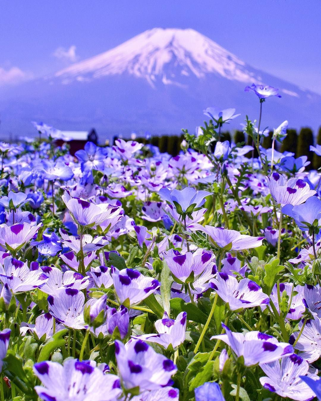 Yamanakako Hananomiyako Park Yamanashi Japan Nemophila Mt Fuji Fujisan Flower Lake Yamayaka Bul Beautiful Landscapes Beautiful Nature Beautiful Flowers