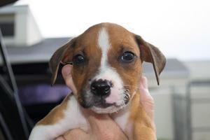 Adopt Shiloh on Boxer mix puppies, Pitbull terrier, Bull