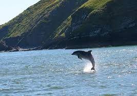 cardigan bay dolphins - Google zoeken