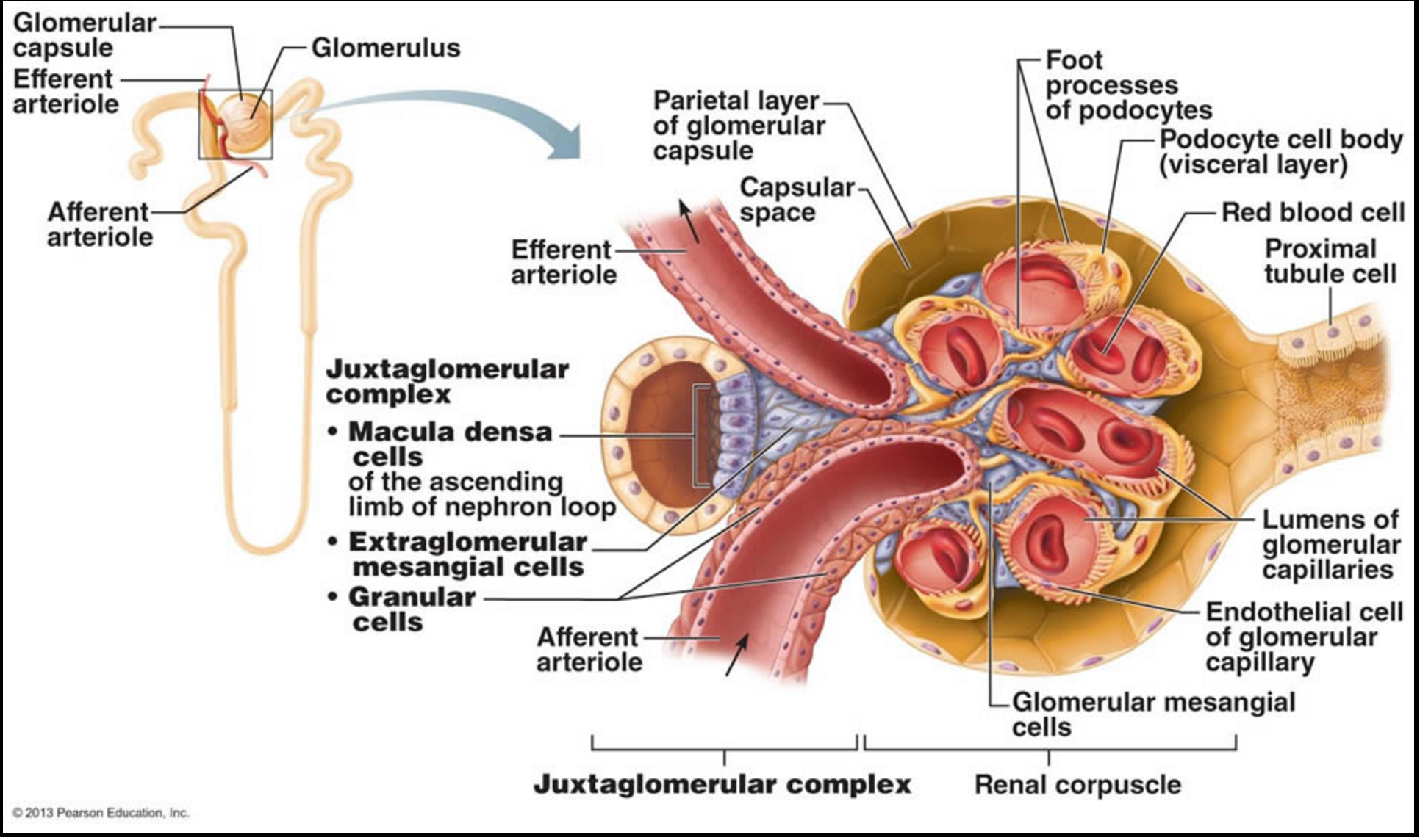 Resultado de imagen para macula densa nephron | Medicinsk utbildning ...