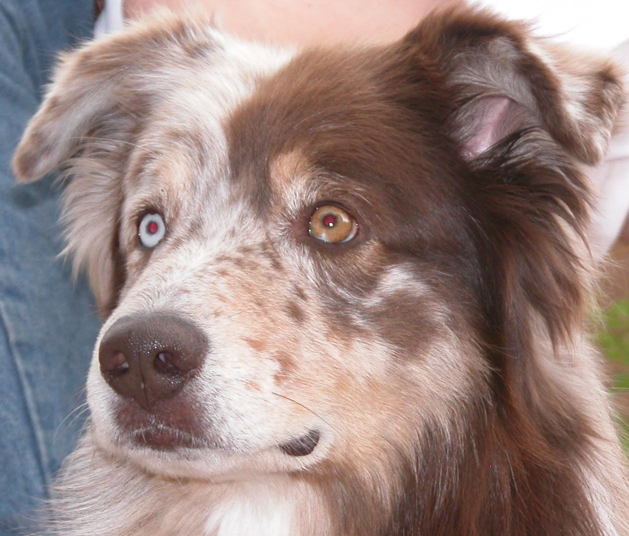 Aussie Eye Color And Eyeshine Training Your Dog Your Dog Dog