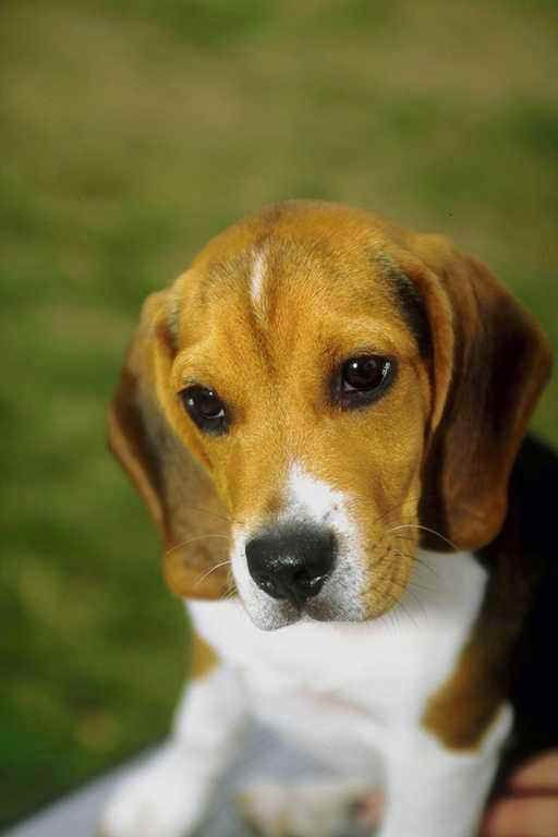 Pin By Rachel C On Photography Pets Beagle Puppy Beagle Dog