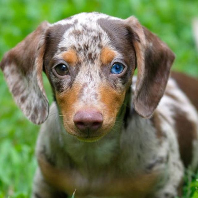 One Blue Eye One Brown Dapple Dachshund Dachshund Love