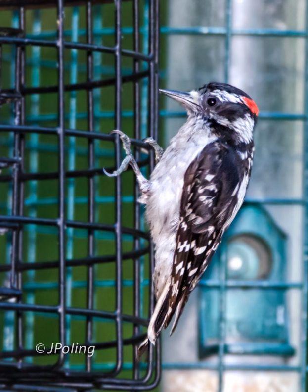 Downy Woodpecker, Black Mountain, NC