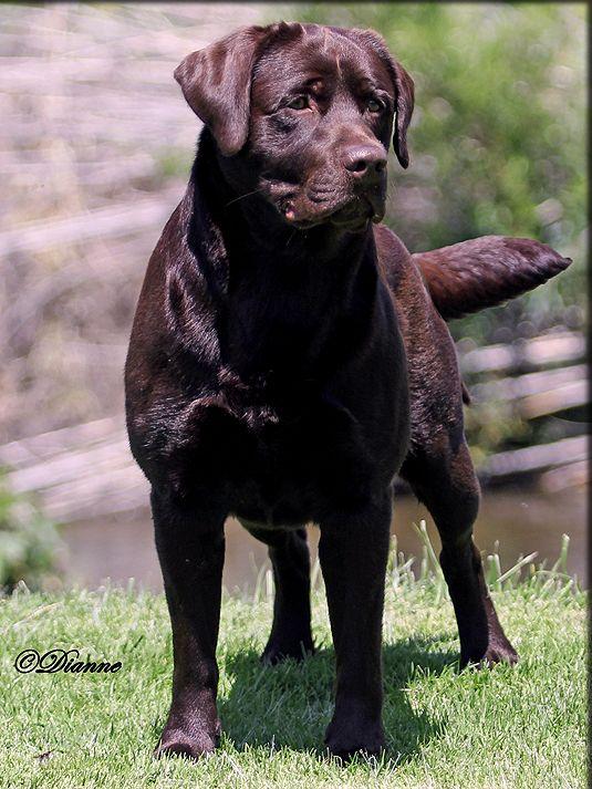 Bentley Male Chocolate Lab Stud Dog Dogs Labrador