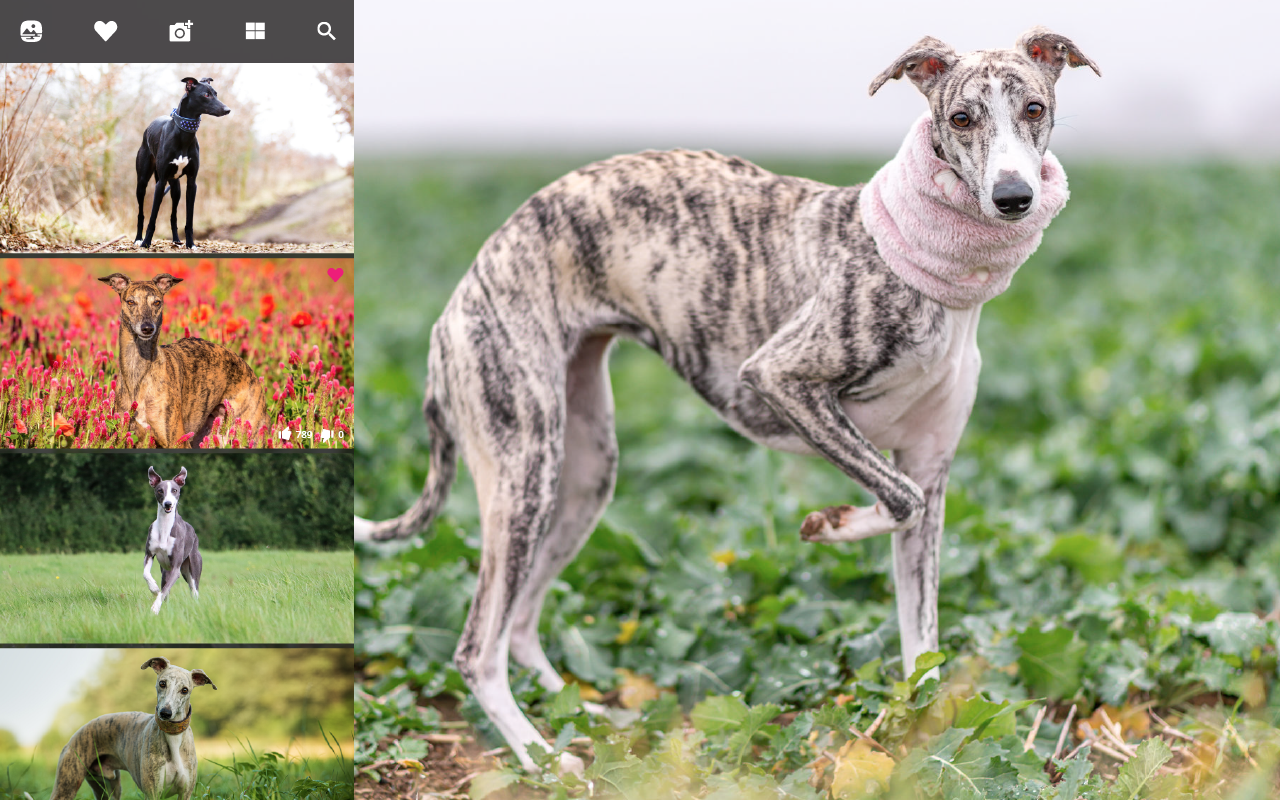 My Whippet Hd Wallpapers New Tab Mystart Whippet Cute Dogs Images Whippet Dog