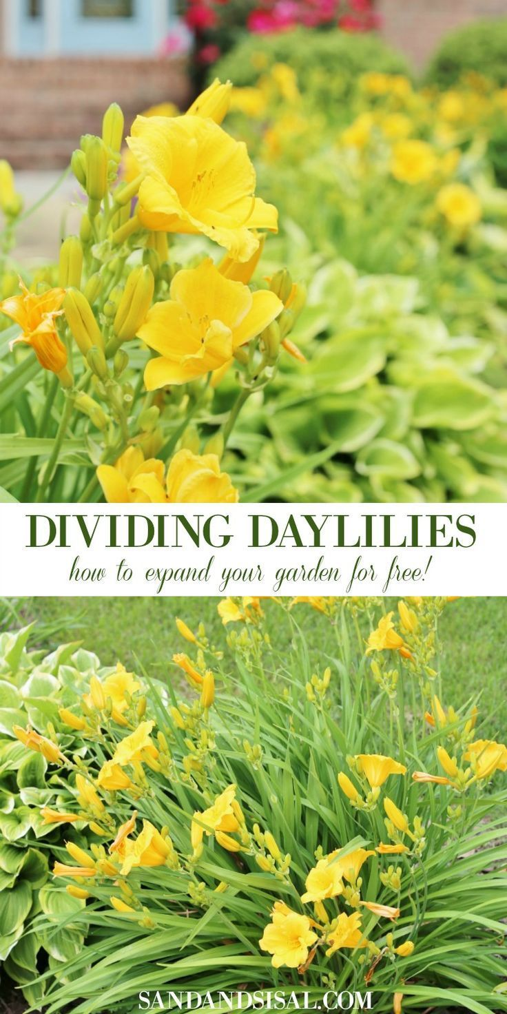 Dividing Daylilies  How to Expand Your Garden for Free is part of Daylily garden, Day lilies, Flower garden, Daylilies, Gardening for beginners, Garden planning - Daylilies are the gifts that keep on giving! Let's talk about dividing daylilies and how to expand your garden for free! In this post I'll show you how to divide and transplant daylilies so that you have a jaw dropping garden that boosts your curb appeal on a dime